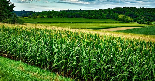 PLA kukorica termesztés